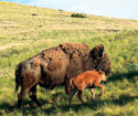 A buffalo and calf. Photo U.S. Fish and Wildlife Service.